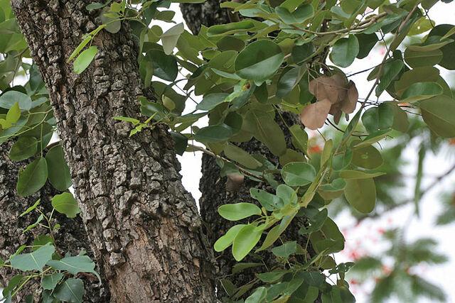 Archivo:JMGard Pterocarpus santalinus.jpg