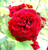 Rosa Fleur