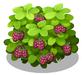 Loganberry Bush