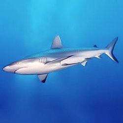 File:Grey reef shark.jpg