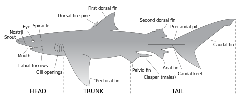 File:Parts of a shark.png