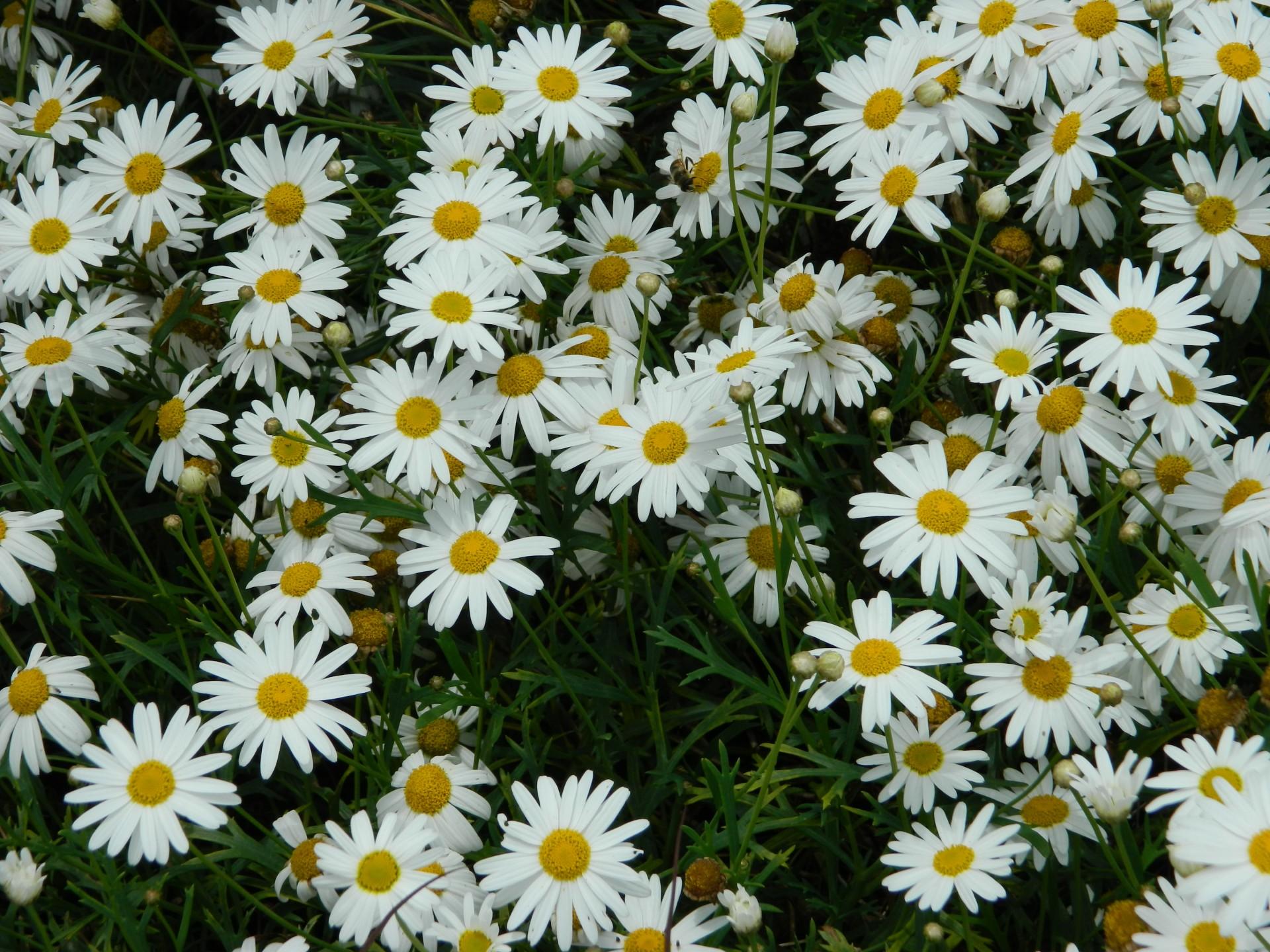 Image white daisy flowers 1383946488ipkg hetalia fan white daisy flowers 1383946488ipkg izmirmasajfo