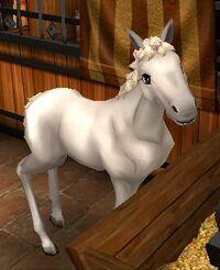 Highland pony t1 foal