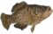 HO Tut Fish-icon