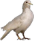 HO TLair Pigeon-icon