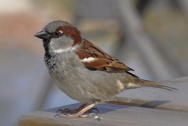 File:Passer domesticus male (15).jpg