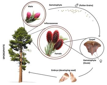 Gymnosperm life cycle (en)