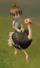 Ostrich (ToT)