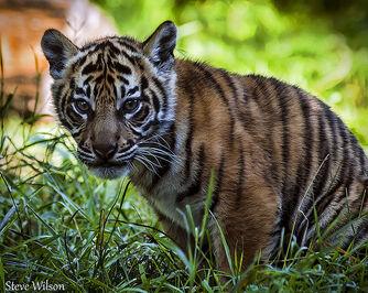 Beautiful Sumatran Tiger Cub
