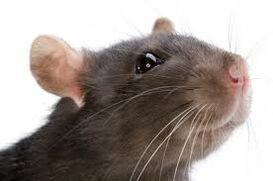 Kira's rat