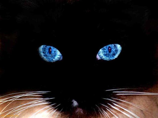 File:Black-cat-blue-eyes-.jpg