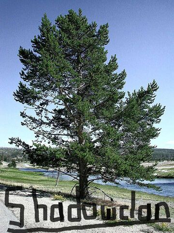 File:Pine-tree-shadowclan.jpg