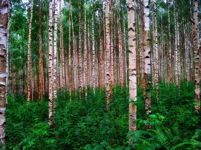 File:Birch-trees.jpg