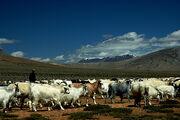 Shepherd in Morey Plains