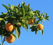 California Winter Oranges