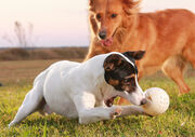Dogs playing ball