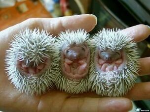 Baby-animals-hedgehogs