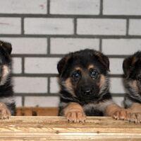 Betere Duitse herder | Honden wiki | Fandom GV-01