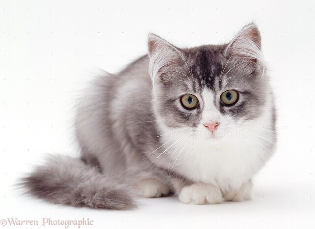 File:WP22196 Grey-and-white cat .jpg