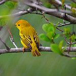 Wildlife image-yellow warbler courtney celley