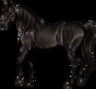 Arabian Mare Black