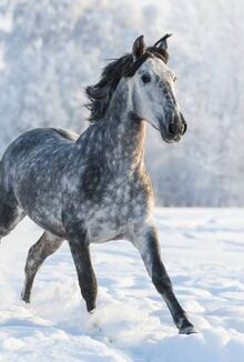 52153971-dapple-grey-spanish-horse-run-gallop-in-winter