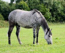 Dappled grey Horse2