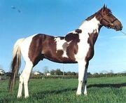 Skewbald horse