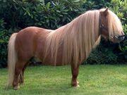 Shetland Pony 6489794