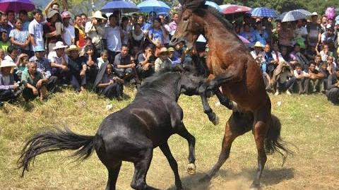 Horse Fighting