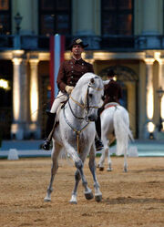 Lipizzan performing classical dressage