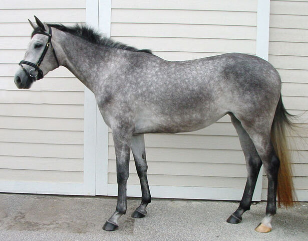 File:Dapple gray horse.jpg