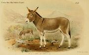 1280px-Wild Ass of Sokotra