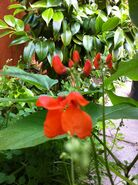 Scarlet emperor flowers