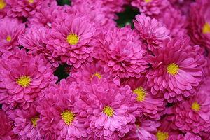 800px-Chrysanthemumkjfmartin