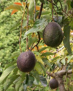 479px-Persea americana fruit 2