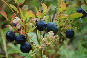 800px-Blueberries-Littleisland
