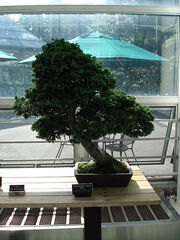 Slanting bonsai