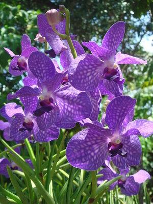 450px-Purple orchids