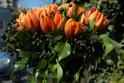 Tulips-and-seeded-ivy