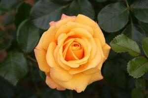 800px-Rose Amber Flush 20070601