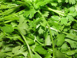800px-A scene of Coriander leaves