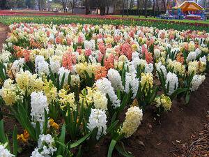 800px-Hyacinths - floriade canberra