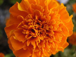 800px-African Marigold