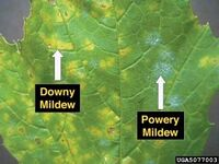 Downy and Powdery mildew on grape leaf