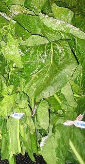 Turnip Greens-1