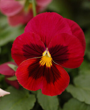 490px-Pansy