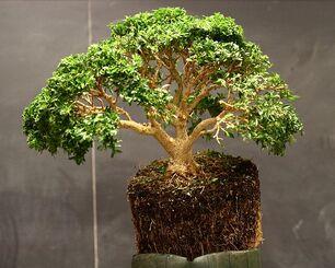 750px-Boxwood demonstration bonsai by Min Hsuan Lo