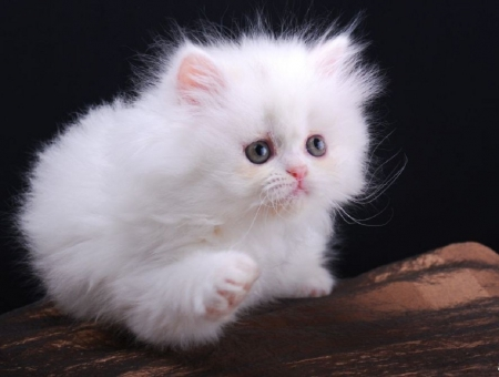 Cute-fluffy-white-catcute-white-fluffy-kitty---persian-cats-wallpapers-and-images-ffxsg9vr
