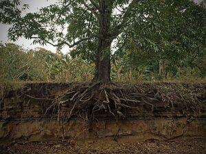 Mangifera indica roots cross section